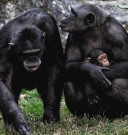 chimp parents